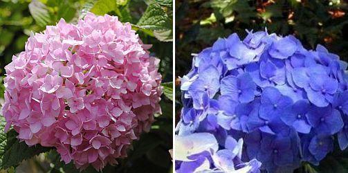 Hydrangea m. Endless, Summer Hydrangea m. 'Altona' Hortensia