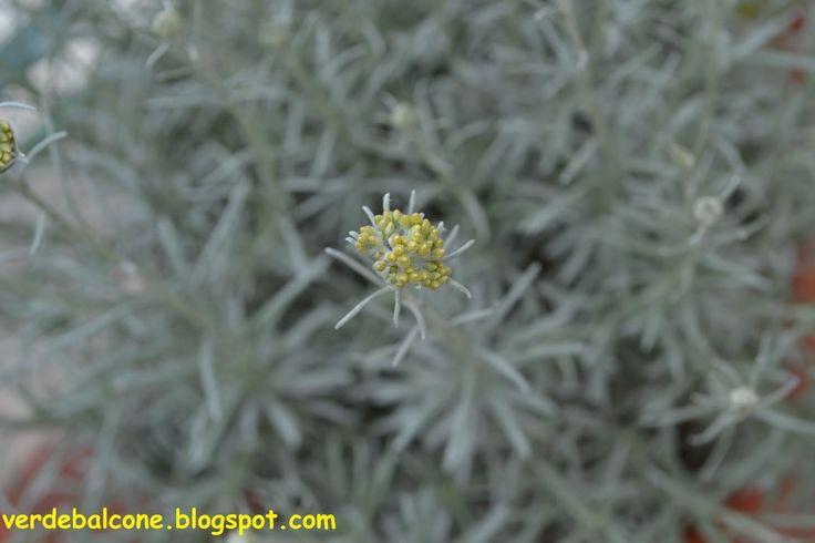 17 best images about le mie piante in giardino on for Coltivazione goji in vaso