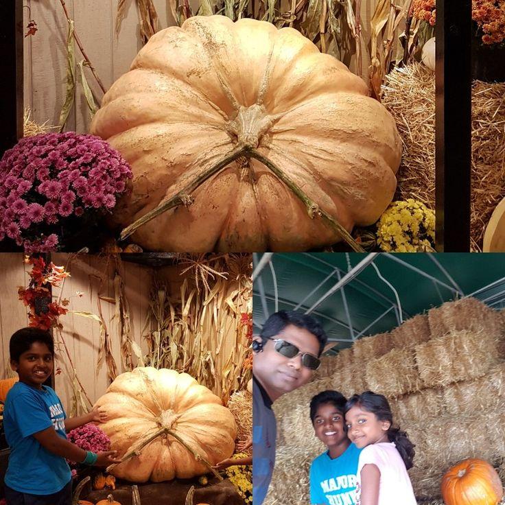 Big #Pumpkin hunt #thanksgiving #travelwithleo