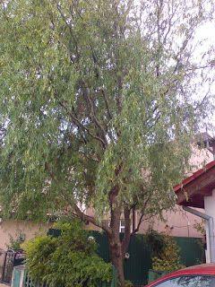 Grădinărit, horticultură și spații verzi - Gardening, horticulture and landscaping.: Tăieri de arbori