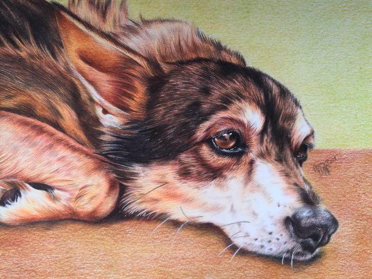 My dog Zuza photorealistic polychromos color pencils portrait drawing by Magdalena Leszczyniak