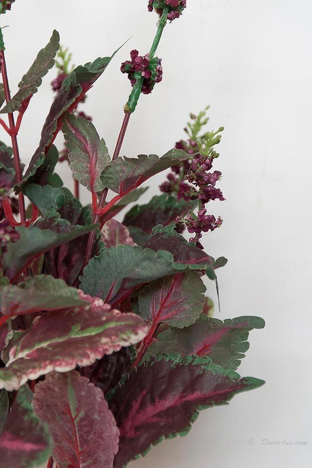 Плектрантус coleoides растение.