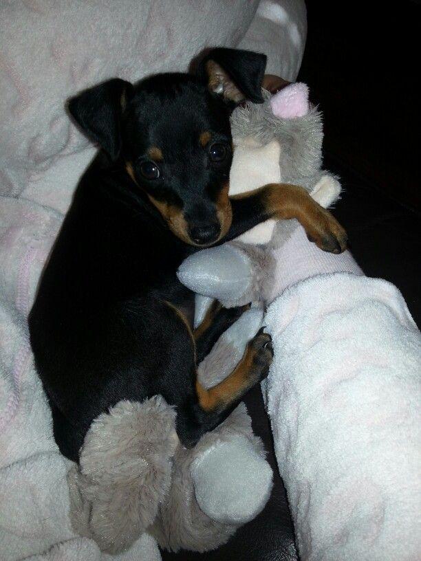 Min Pin Puppy