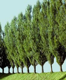 Lombardy Poplar - fast growing (up to 6 feet in a year) http://www.fast-growing-trees.com/LombardyPoplar.htm