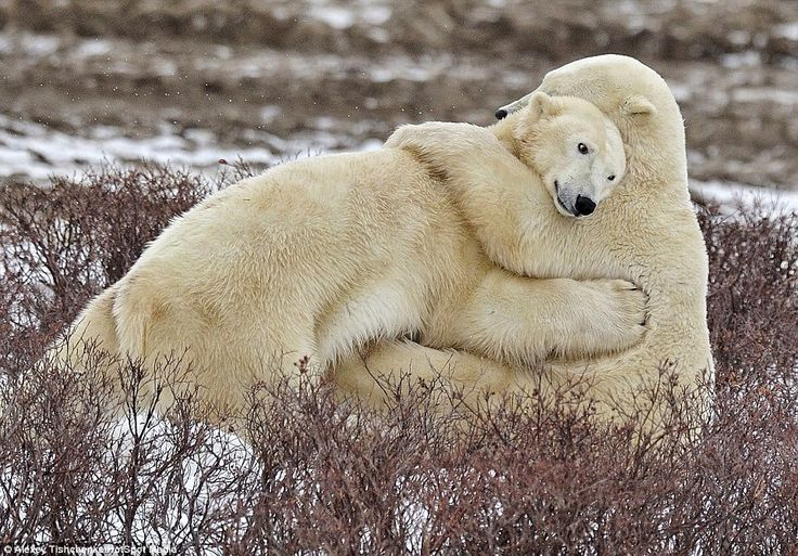 White Wolf : Russian Photographer Takes Stunning Pictures Of Polar Bears Cuddling Each Other
