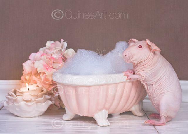 Un cochon d'Inde pose totalement nu dans son bain