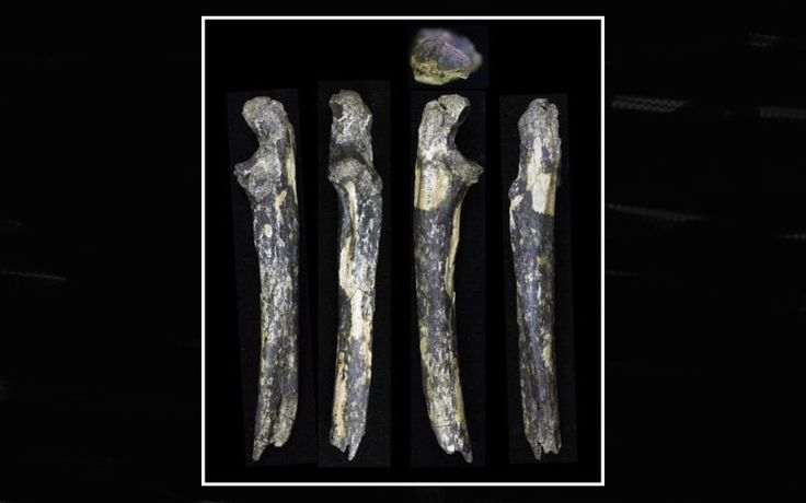 An international team of palaeontologists report findings of fossilized teeth and forearm bone from an adult male and two infant Australopithecus afarensis.