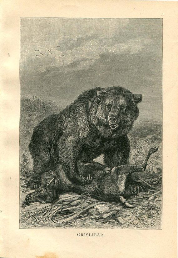 Grizzly Bear Print Antique Engraving Black and by