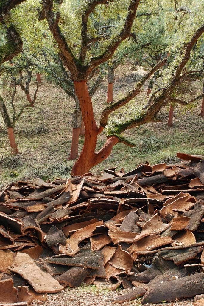 les écorces du chêne liège