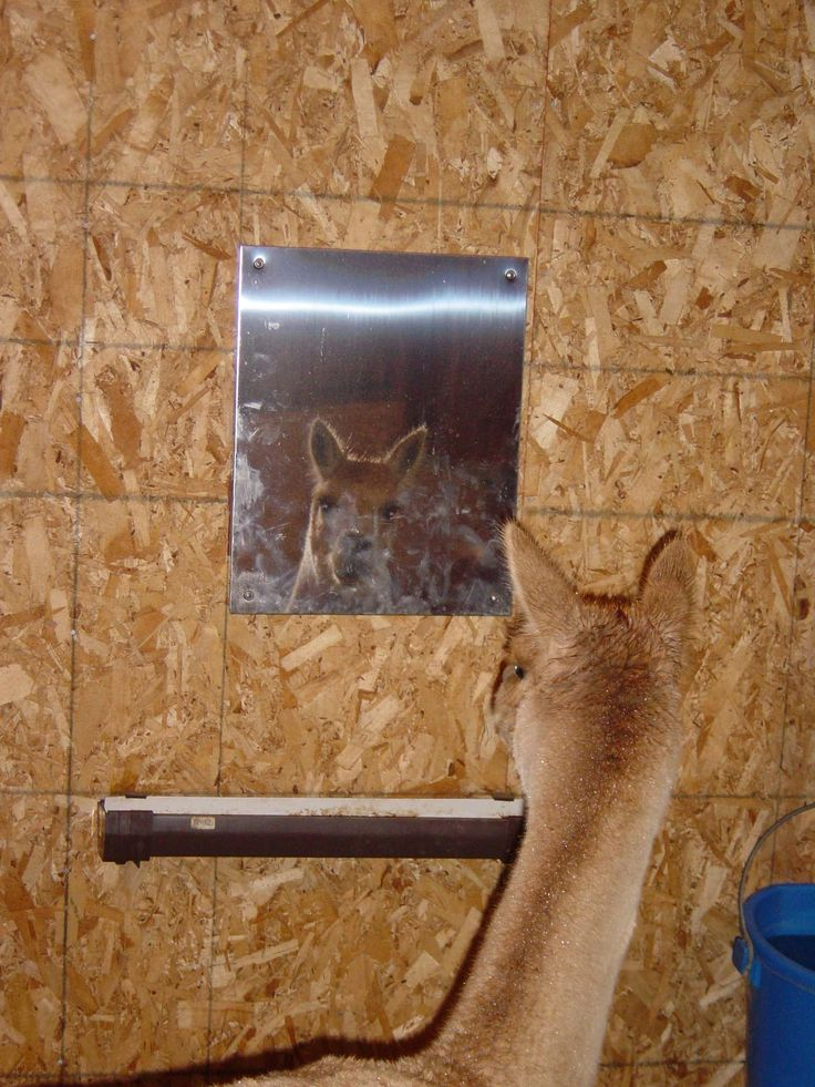 "Safety mirrors are useful for all kinds of things. Put a mirror near a mineral feeder and the animals eat more mineral, use one to provide ""company for a sick animal at a vet hospital or in isolation, put one in a trailer when taking animals solo!"