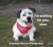 Doc is available through #Dalmatian Rescue of Tampa Bay. His adoption comes with a special package, courtesy of THE NEW BARKER, which includes food and training.