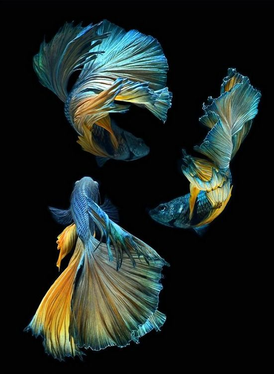 Blue and gold Betta fish. photo: Visarute Angkatavanich.