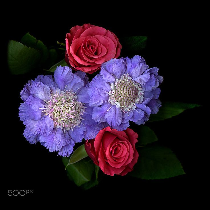 A PERFECT MATCH… ROSES, SCABIOSA by Magda Indigo on 500px