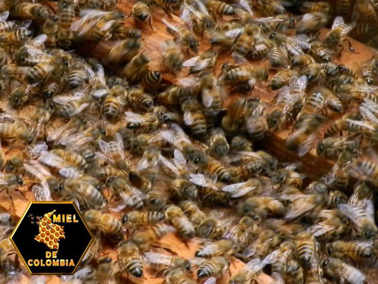 Las abejas son insectos del orden los Himenopteros, pertenecientes al género APIS y especie MELLIFERA. Las abejas viven en grandes sociedades llamadas colonias perfectamente organizadas, donde cada individuo realiza una función determinada de acuerdo a su edad y desarrollo físico. En la apicultura la colonia es introducida en una caja construida por el hombre llamada colmena, ello permite criar las abejas de manera racional. Pedidos: 3012020777 -3117402833 www.mieldecolombia.com