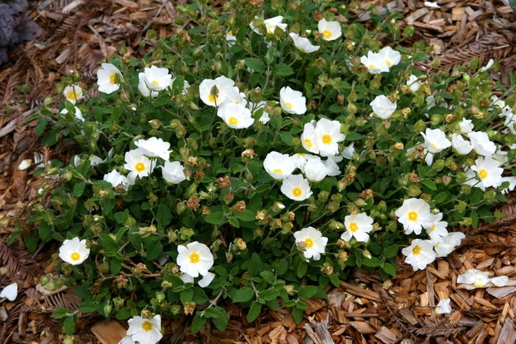 Photo of Sage-Leaf Rockrose (Cistus salviifolius 'Prostratus') uploaded by Calif_Sue