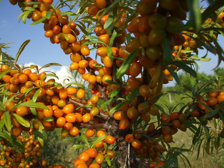 Fruits that grow in cold climate for Fruit trees for sale