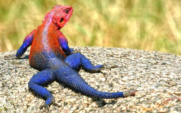 Mwanza Flat Headed Agama Photo