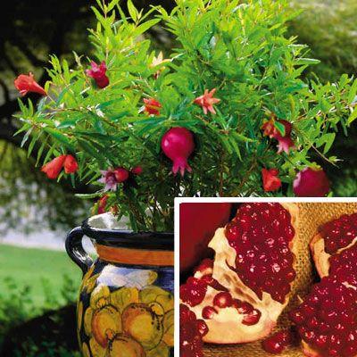 The 25 best dwarf fruit trees ideas on pinterest patio fruit trees fruit trees and growing Olive garden citrus heights ca