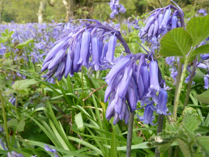 Bluebells are in abundance at Croft Castle, Herefordshire 1May 2014