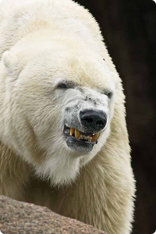 Isbjørn er ikke dine venner. Polar bears are not your friends.