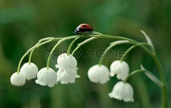 Ladybug on Lily of the valley stem, lucky tattoo