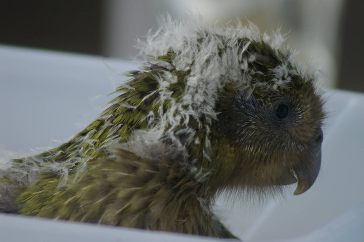 The Kakapo Parrot of New Zealand, Strigops habroptilus also called owl parrots are large, flightless, nocturnal, ground dwelling parrots that live in New Zealand. It is the world's only flightless parrot, the heaviest parrot, nocturnal, herbivorous, visibly sexually dimorphic in body size, has a low basal metabolic rate, no male parental care, and is the only parrot to have a polygynous lek breeding system. It is also possibly one of the world's longest-living birds. kakapo chick