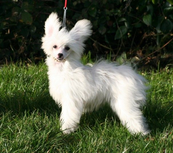 Powder Puff Chinese Crested Dog For Sale