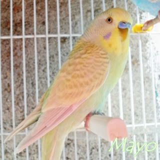Beautiful budgie - a lovely mix of varieties that is very hard to identify, maybe a Skyblue Yellow Face 2 Cinnamon Dilute? A Fallow cock budgie wouldn't have a blue cere....