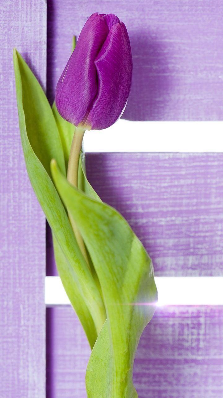 Purple Tulips Live Wallpaper For Android Apk Download Nel 2020 Fiori Immagini Piante
