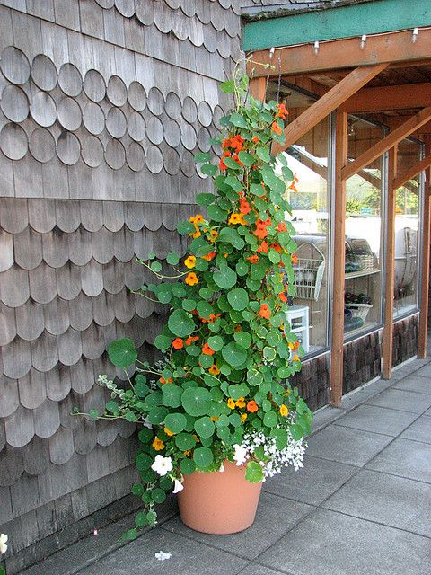 Have to plant some Nasturtium. Edible climbing flowers :) and great companion plant for the garden to detract pests from other plants.
