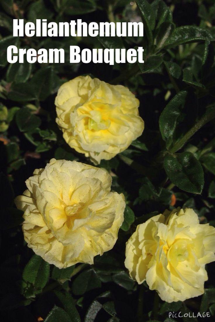 HELIANTHEMUM cream bouquet