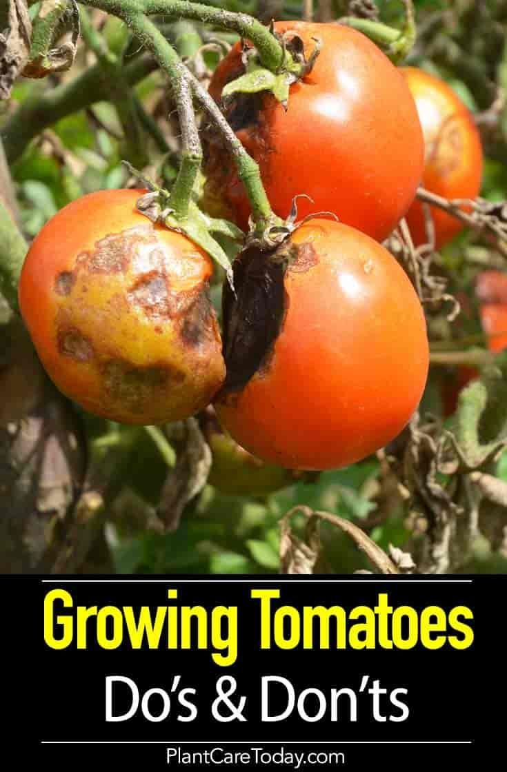 Tomato Plant Care 8 Do S And 5 Dont S Growing Tips Growing