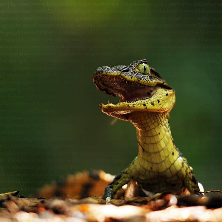 Spectacled Caiman (Caiman crocodylus)