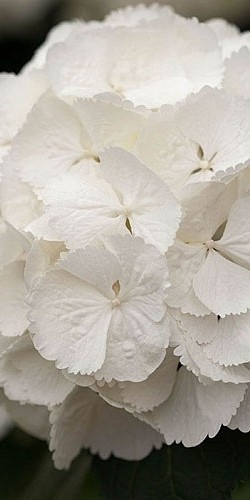 Delicate Snowball Hydrangea ~ white--my mother-in-law used to have snowball fights with my daughter in her back yard---they would cut a few and throw them like real snowballs.