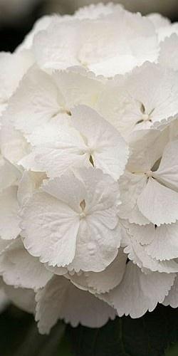 Delicate Snowball Hydrangea ~ white. Beautiful
