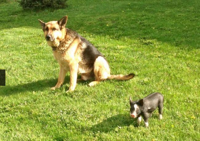 Gentle Giant German Shepherd Adopts Runt Piglet