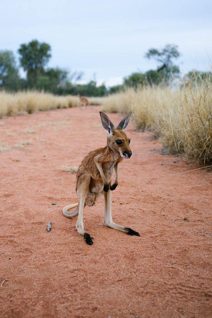 réserve de kangourous en australie