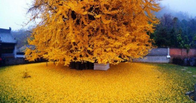 Un arbre chinois âgé de 1 400 ans laisse derrière lui un océan de feuilles dorées dès que l'automne arrive