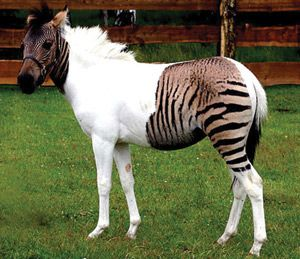 Lemierre's syndrome makes a comeback  Hearing horses, thinking Zebras.
