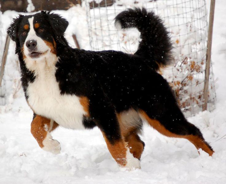 Champion Bernese Mountain Dog.../