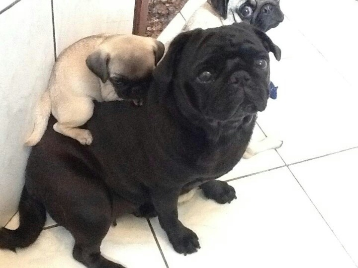 199 best in the pug house images on pinterest pug love doggies black puggy back thecheapjerseys Image collections