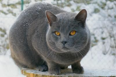 Chartreus cat....originally from France.