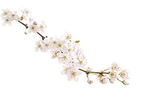 cherry-plum-fiori-di-bach