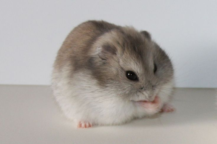 """Types of Hamster Breeds – Although the Expression """"hamster"""" Describes Roughly 24 species of small rodents, that there are only approximately five located in the pet industry. Below is a list of the most common types found as pets."""