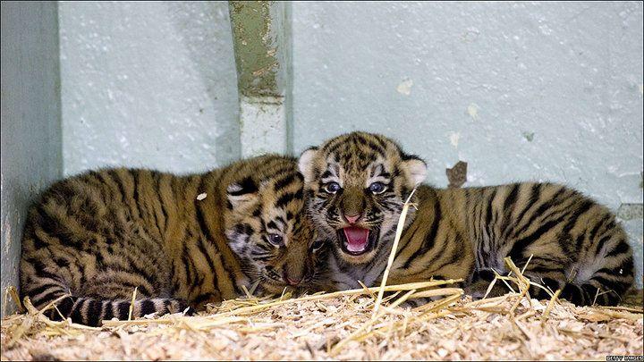 Sólo quedan de 300 a 500 ejemplares Dos tigres siberianos de dos semanas de vida descansan en el Zoológico de Kolmarden, en Suecia