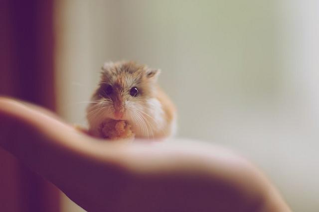 Robo Hamster by Ben Resnik, via Flickr