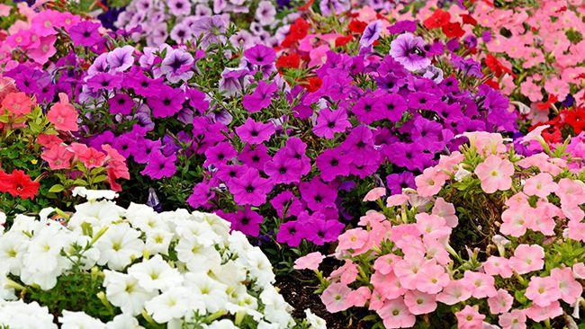 Выращивание петунии из семян в домашних условиях. Самая правильная инструкция.   Красивый Дом и Сад