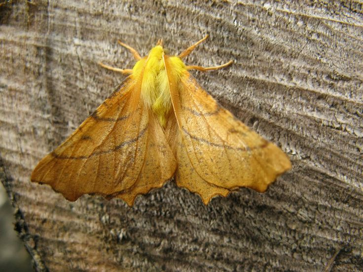 Week 30.... 40 moths in the trap - No new species. My fave this week was a Canary-shouldered thorn moth.