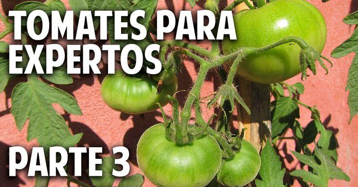 Cosas del jardin m xima producci n de tomates en maceta - Cosas del jardin ...