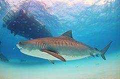 http://www.tiburonpedia.com/tiburon-tigre/